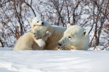 Polar Bears - cub, bears, animal, polar bears