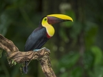 chestnut manibled toucan