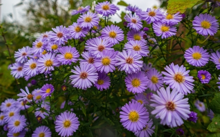 Asters - flowers, nature, purple, asters