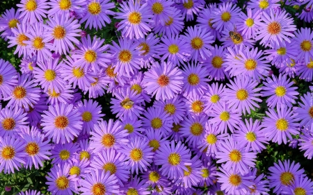 Asters and Bees - flowers, nature, purple, asters, bees