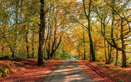 Autumn Forest Road - forest, autumn, trees, road
