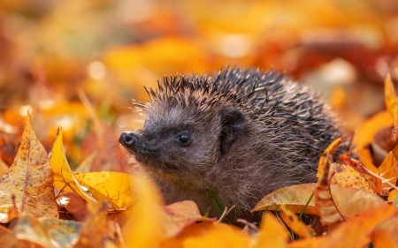 Hedgehog - autumn, leaves, hedgehog, animal
