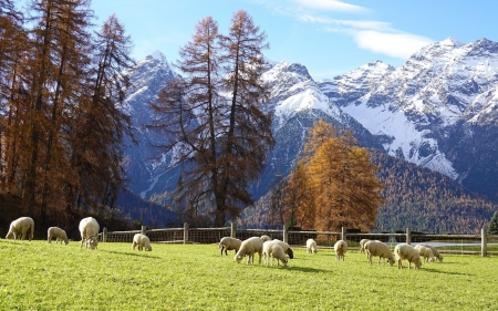 Sheep on Pasture - sheep, pasture, mountains, animals, trees