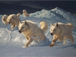 Running white Wolves