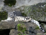 Snow Leopard taking a break