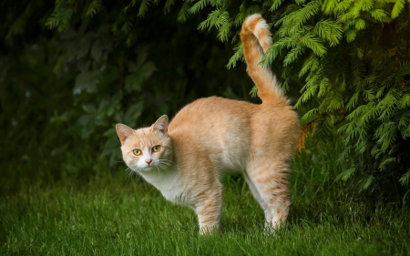 Cat - cat, tail, animal, ginger, grass
