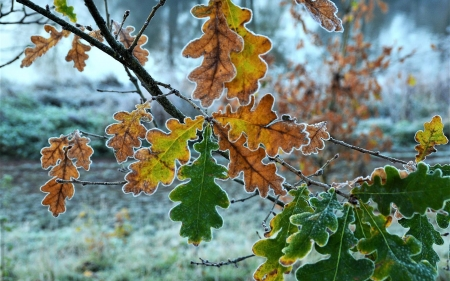 Frosted Leaves - Latvia, oak, leaves, frost
