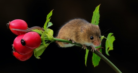 Mouse - cute, red, fruut, berry, mouse, black, soricel, rodent