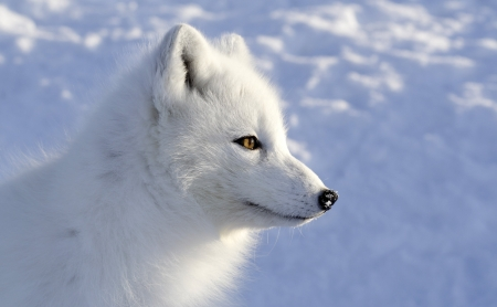 arctic fox - arctic, snow, fox, dog