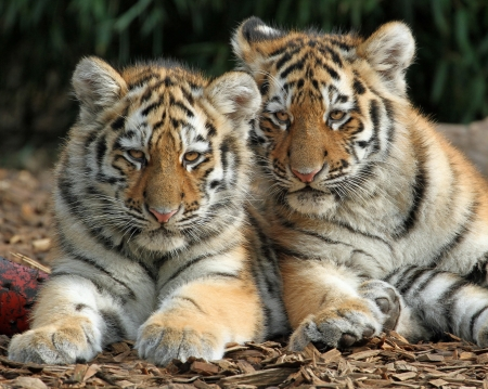 Tigru dating site.)