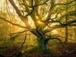 The sun peaking through the tentacles of this interesting tree, The Netherlands