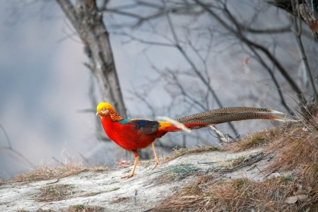 Golden Pheasant, China - nature, pheasant, china, animal