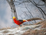 Golden Pheasant, China
