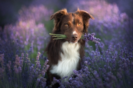 For you! - vara, border collie, brown, purple, summer, flower, lavender, dog, caine
