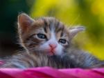 Kitten Wallpapers Kitten Backgrounds Kitten Images Desktop Nexus