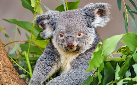 Koala - cute, koala, photoghaphy, animal
