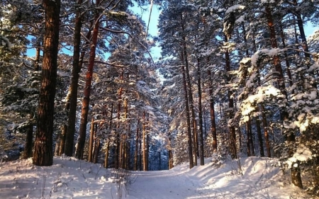 Winter Forest in Latvia - Latvia, forest, snow, winter