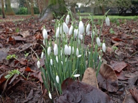Early Snowdrops - ground, park, leaves, snowdrops