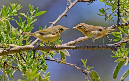 Canaries - birds, tree, canaries, animals
