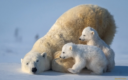 Polar Bear Family - mother, animals, family, snow, polar, bears, cubs