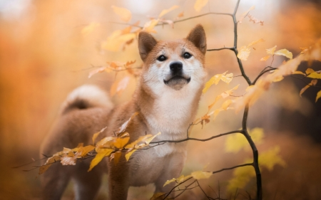 Shiba Inu - Shiba Inu, autumn, animal, dog