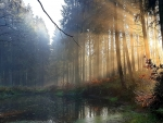 Misty Morning in forest, Northern Germany