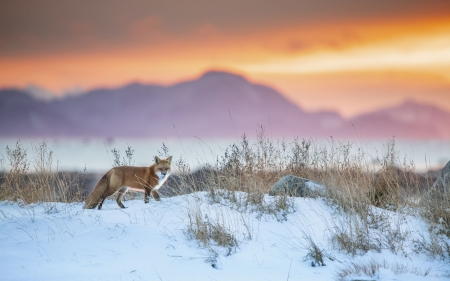 The beauty of winter - sunset, sky, fox, snow, mountains, colors