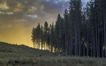 Laurel Hill, Sugar Pine Walk - sky, forest, pinetrees, New South Wales, australia, colors, sunset