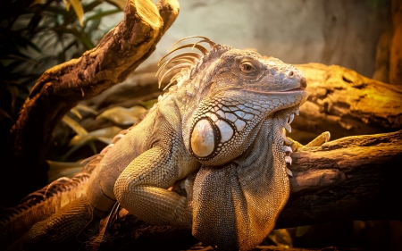 Lizard - photography, lizard, reptile, animal