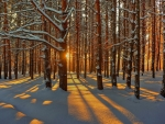 Winter Sun in Forest