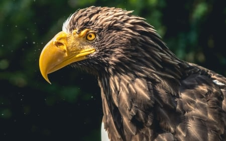 Stellers Sea Eagle - eagle, Stellers sea eagle, bird, animal