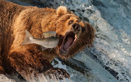 Bear catching fish - pesti, fish, water, vara, urs, bear, summer