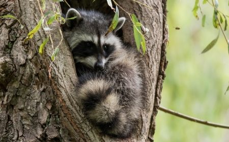 Raccoon - nature, tree, raccoon, animal