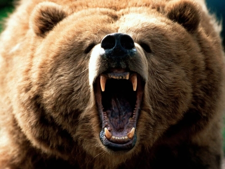 big grizzly - bear, face, grizzly, animal