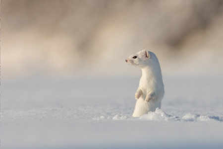 White Weasel Checking out the Snow - nature, snow, weasel, animal