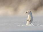 White Weasel Checking out the Snow