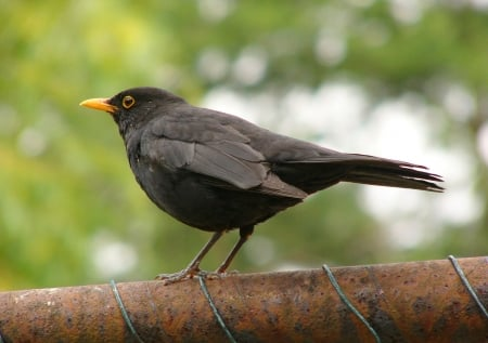 Blackbird - Thrush Family Of Birds, Nature, Birds, Blackbird