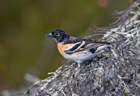 Brambling - Brambling, Finches, Small Birds, Birds