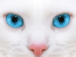 White Kitten Closeup