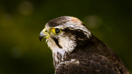 Peregrine Falcon - prregrine falcon, photography, bird, animal, falcon