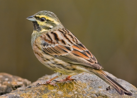 Cirl Bunting - Finches, Nature, Buntings, Cirl Bunting