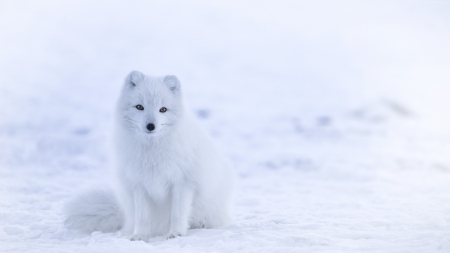 Arctic fox - vulpe, arctic, fox, snow, white, winter, iarna, animal