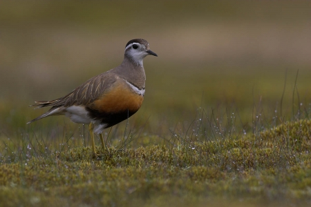 Dotterel - Upland Birds, Dotterel, Birds, Nature