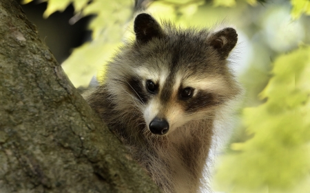 Raccoon - photography, nature, animal, raccon