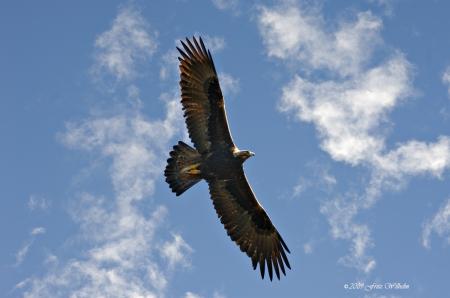 Golden Eagle - Birds of Prey, Eagles, Golden Eagle, Nature