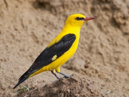 Golden Oriole - Yellow, Nature, Birds, Golden Oriole