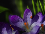 Crocuses and ladybug
