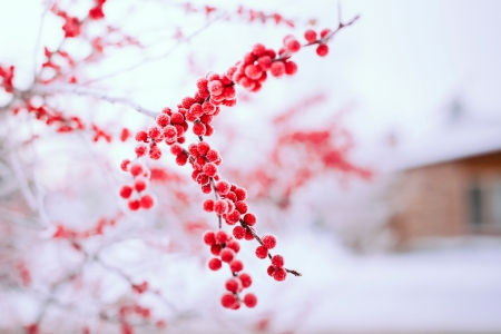 Red berries - berry, whire, winter, red, fruit, iarna