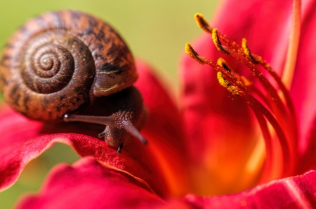 Snail on a lily - snail, red, melc, macro, lily, flower