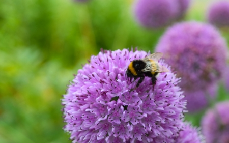 Bee on an Allium flower - bee, albina, purple, flower, allium, insect, pink